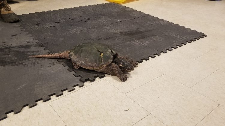 One of the many turtles that were brought to the Turtle Fesitval on Saturday (Photo credit: Mathew Reisler - Moose FM)